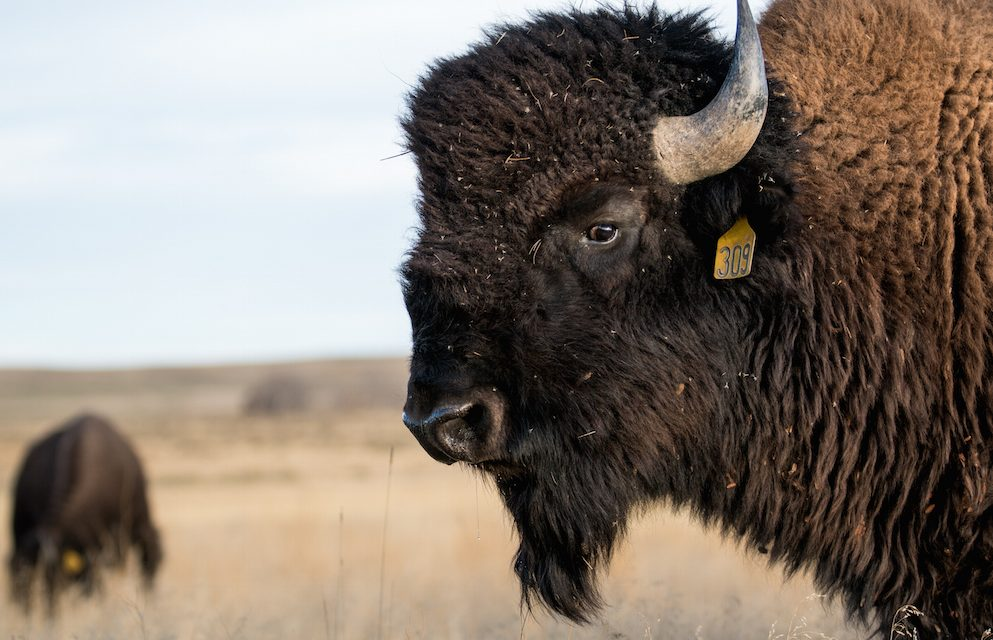 A Day at Bijou Bison Ranch | Stephen Smith Guest Editor Photo Story