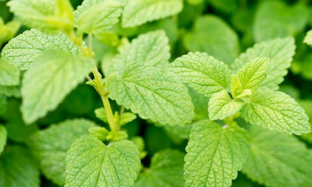 Herban Love with Goldthread Herbs | Lemon Balm