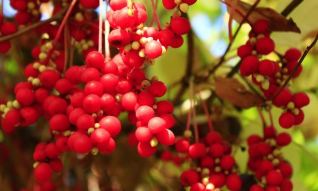 Herban Love with Goldthread Herbs | Schisandra Berry