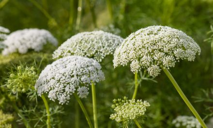 Herban Love with Goldthread Herbs | Yarrow