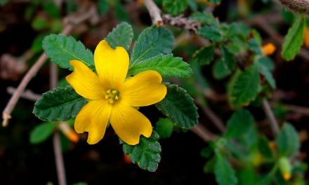 Herban Love| Getting to Know the Damiana Plant